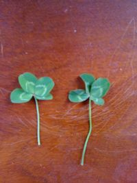 (Picture: A pair of 4-leaf clovers I found this week while working at Clover Ranch)